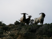 sounds-goats-shands-rd-johnny-r015